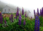 image of Foggy lupins